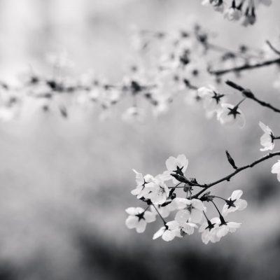 flowers-cherry.jpg
